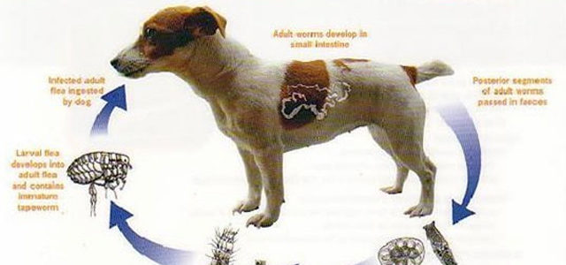 Дегельминтизация щенков и щенных сук