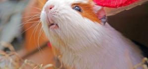 Зачем в доме морские свинки?