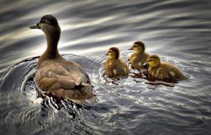 можно ли купаться с утками