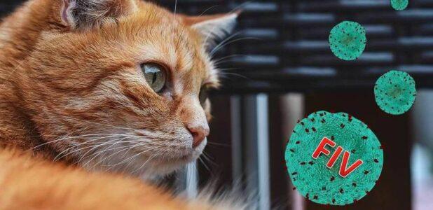 иммунодефицит кошек - только важное
